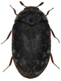 Warehouse Beetles