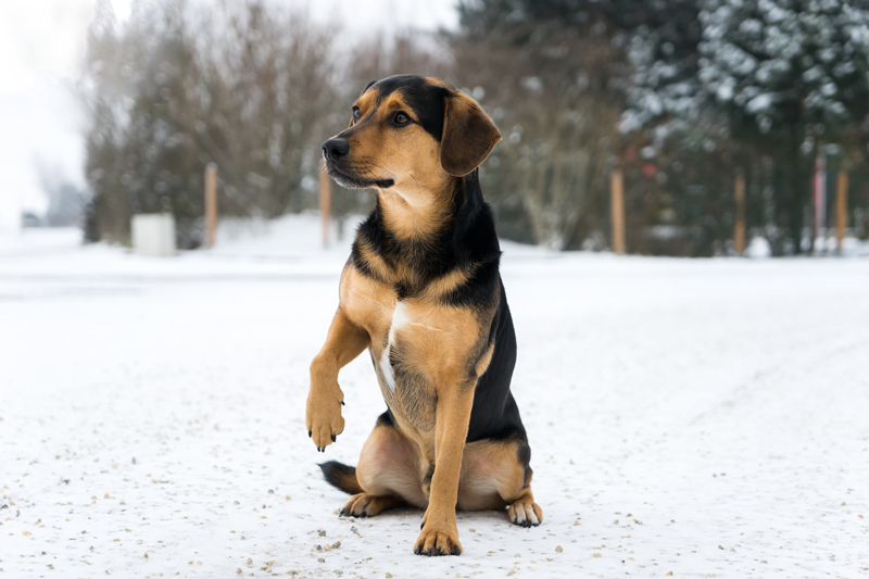 dog-with-cold-paw-winter