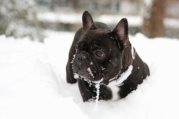 French-Bulldog-playing-in-the-snow