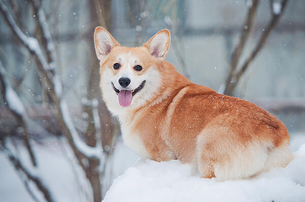 winter-portrait-of-cute-Corgi