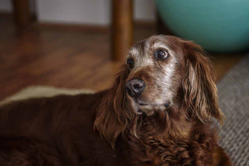 signs-of-aging-old-senior-dog