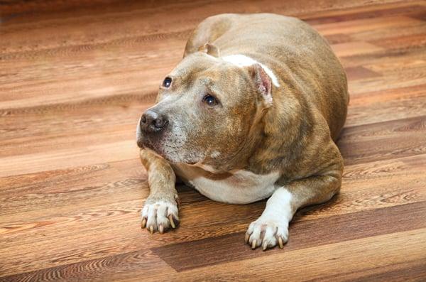 weight-gain-old-senior-dog