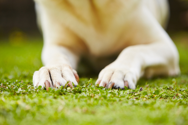 dog-paws-grass-summer