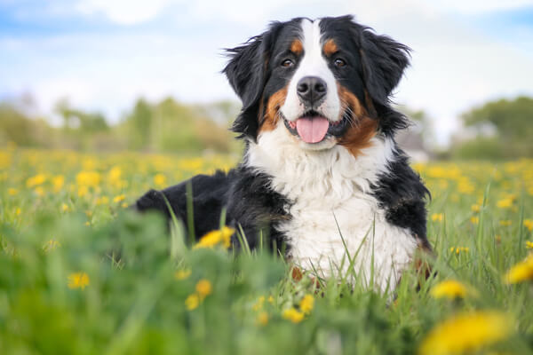 bernese-dog
