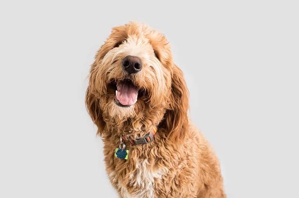 golden-doodle-dog