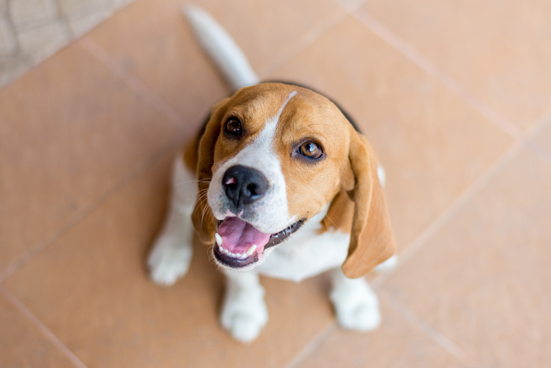 Portrait-cute-beagle-puppy-dog-looking-up