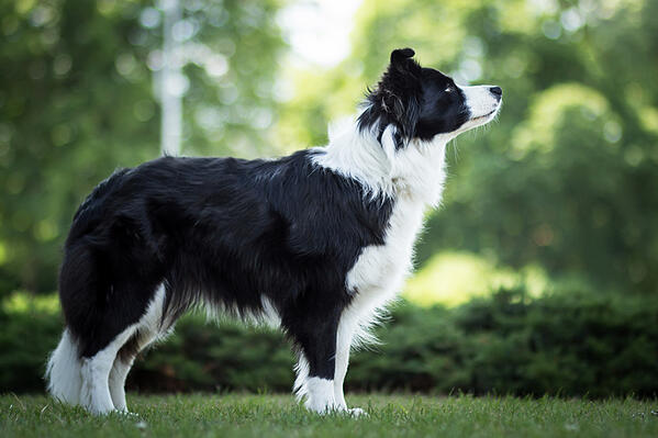 border-collie-shiny-coat