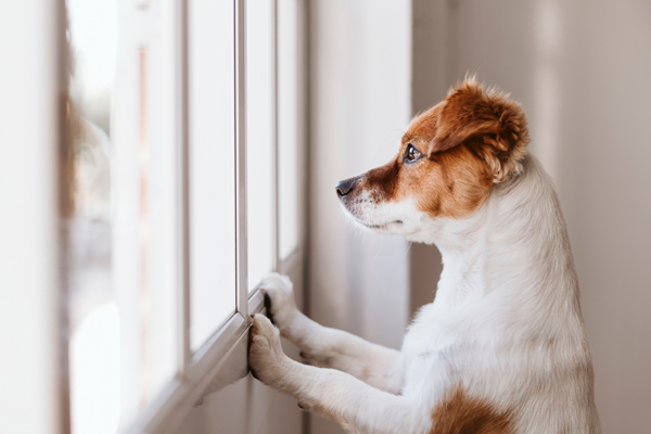 dog-anxiety-looking-out-window-sad