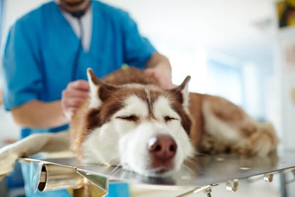 Sick-dog-during-veterinary-checkup