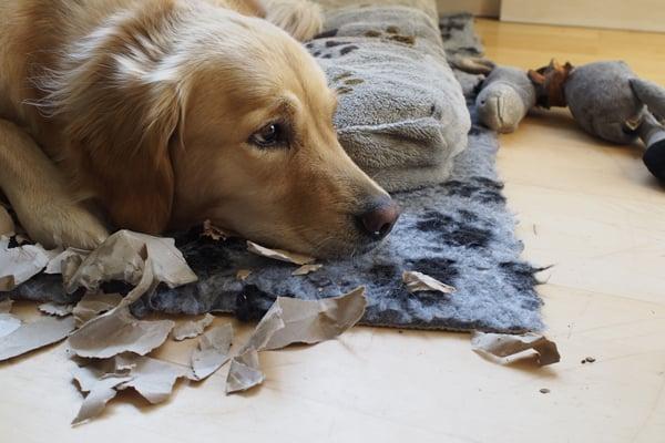 golden-retriever-destroys-paper