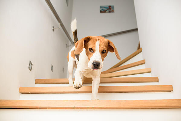Dog-Beagle-running-down-the-stairs