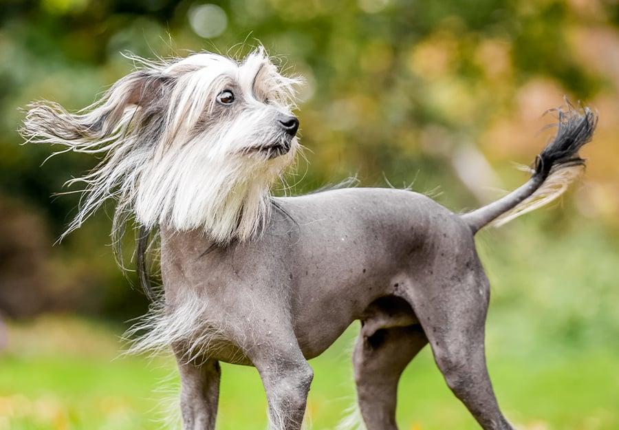 weirdest-dog-breeds-article-feature