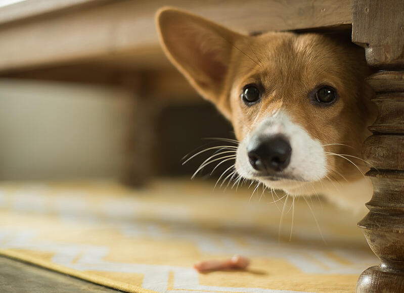 scared-dog