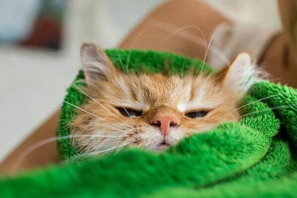 cat-purrito-burrito-wrapped-in-towel