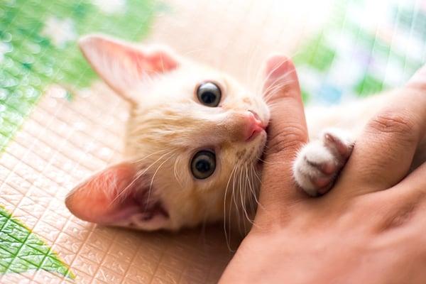 kitten-biting-finger