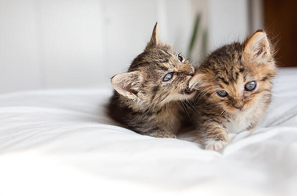 two-kittens-play-biting