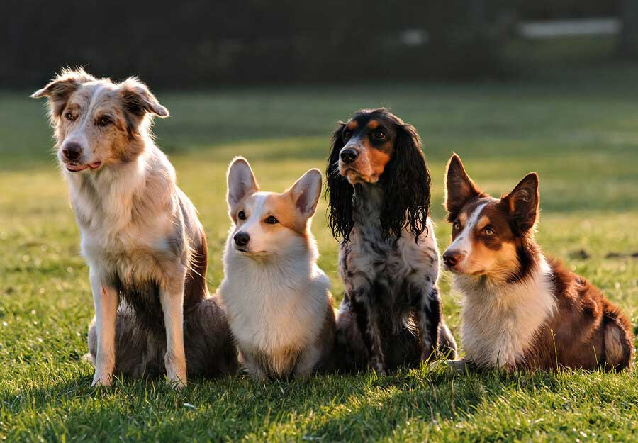 Variety-of-dog-breeds-on-grass