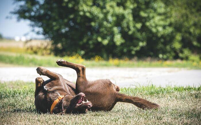Dog rolling on grass S