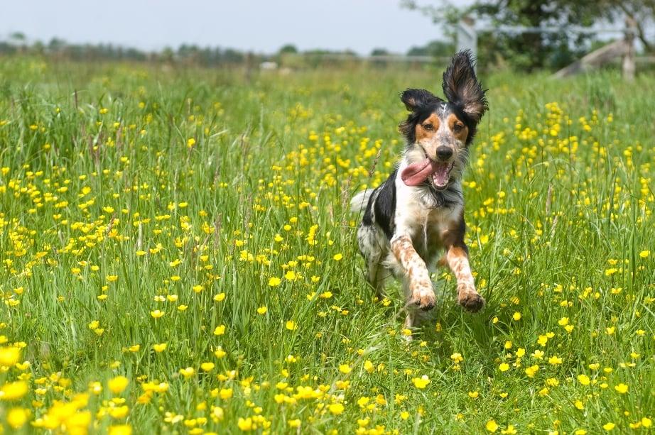 dog running through field of flowers S
