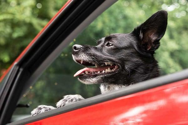 dog car ride window driving