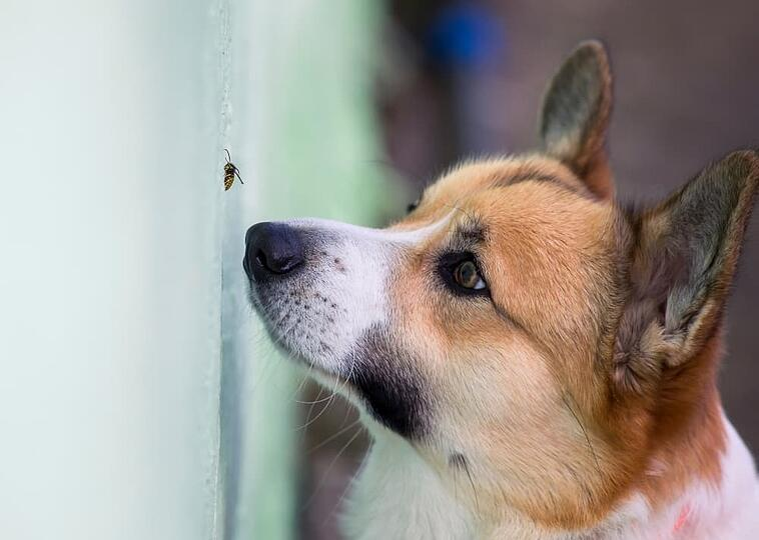 corgi-sniffing-bee-on-wall (1)