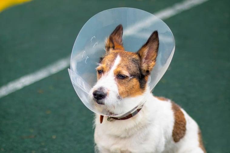 jack-russel-wearing-cone (1)