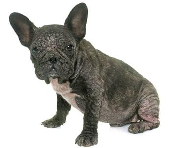 French-bulldog-with-mange