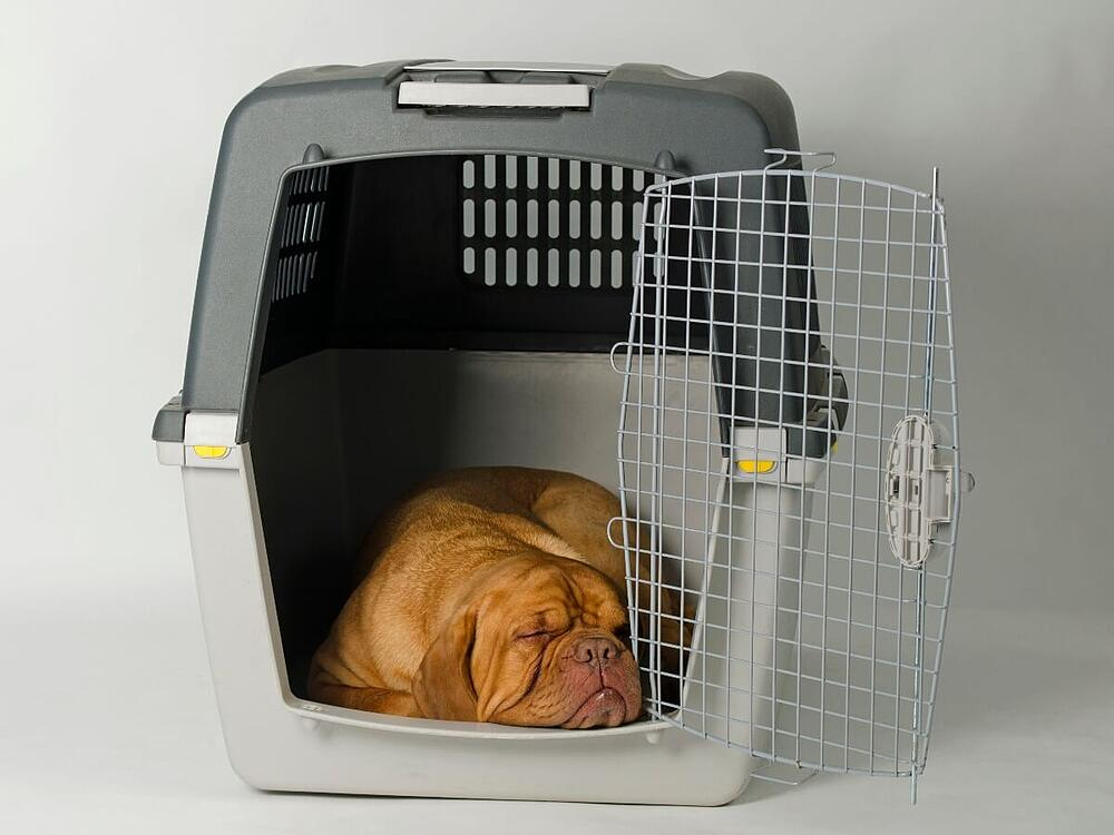 Mastiff-in-kennel (1)
