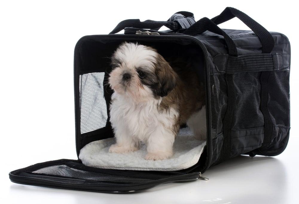 Shih-tzu-puppy-in-carrier (1)