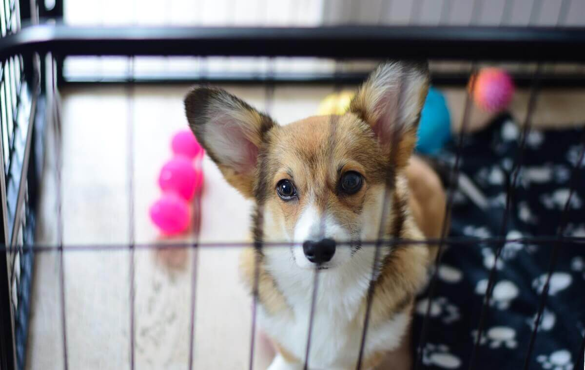 corgi-in-crate-with-toys