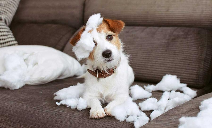 jack-russel-chewing-couch (1)