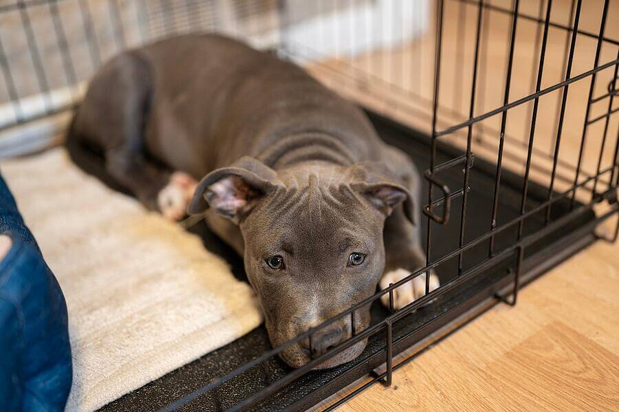 pitbull-pouting-in-crate (1)