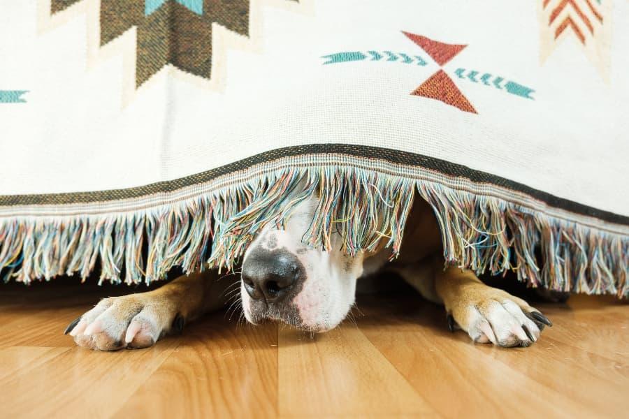 Dog-hiding-under-blanket-compresssed
