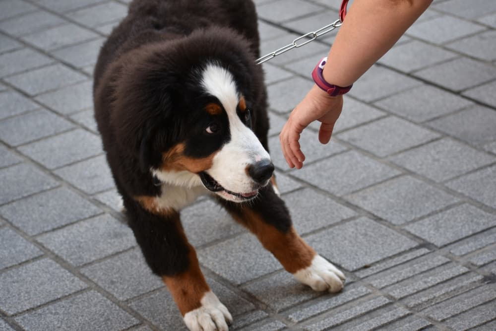 shy-bernese-mountain-dog-compressed