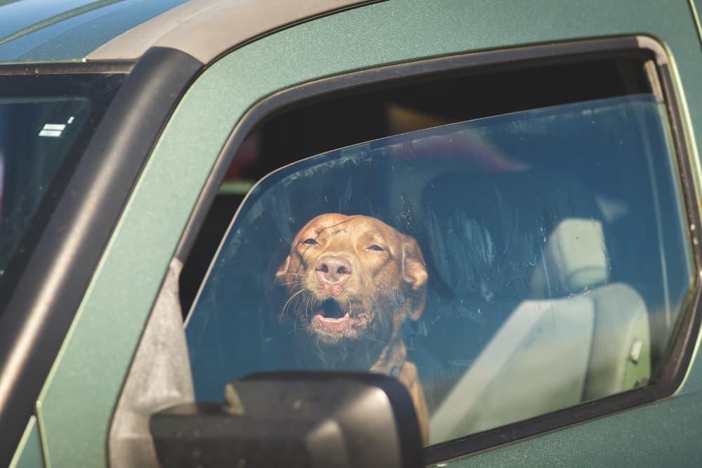 Dog-in-a-hot-car (1)