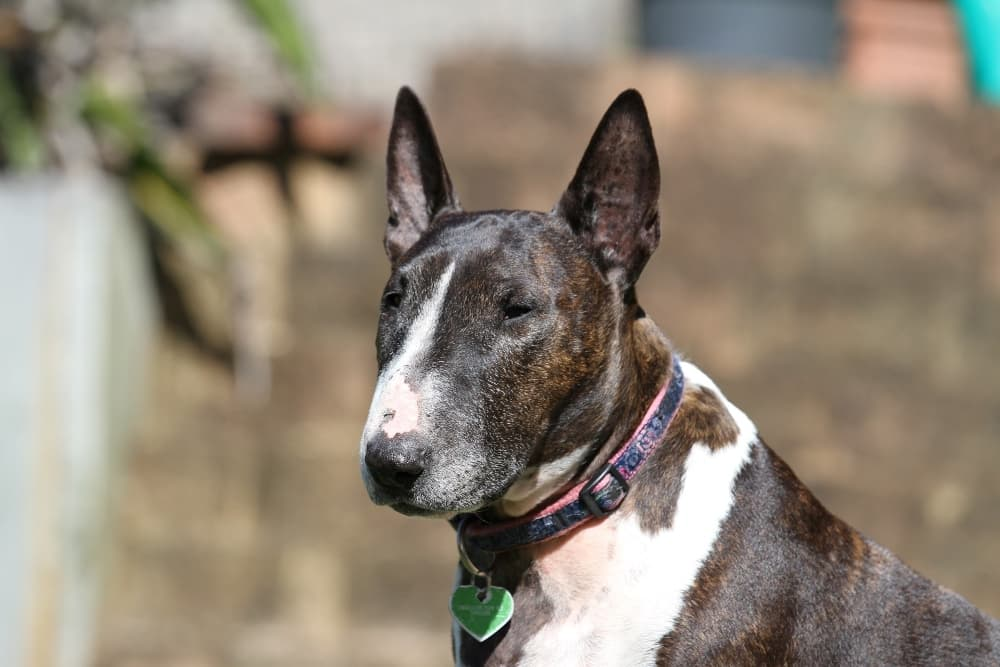 bull-terrier-with-green-dog-tag (1)