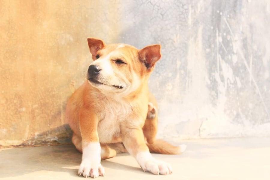puppy-itching-sunburn (1)