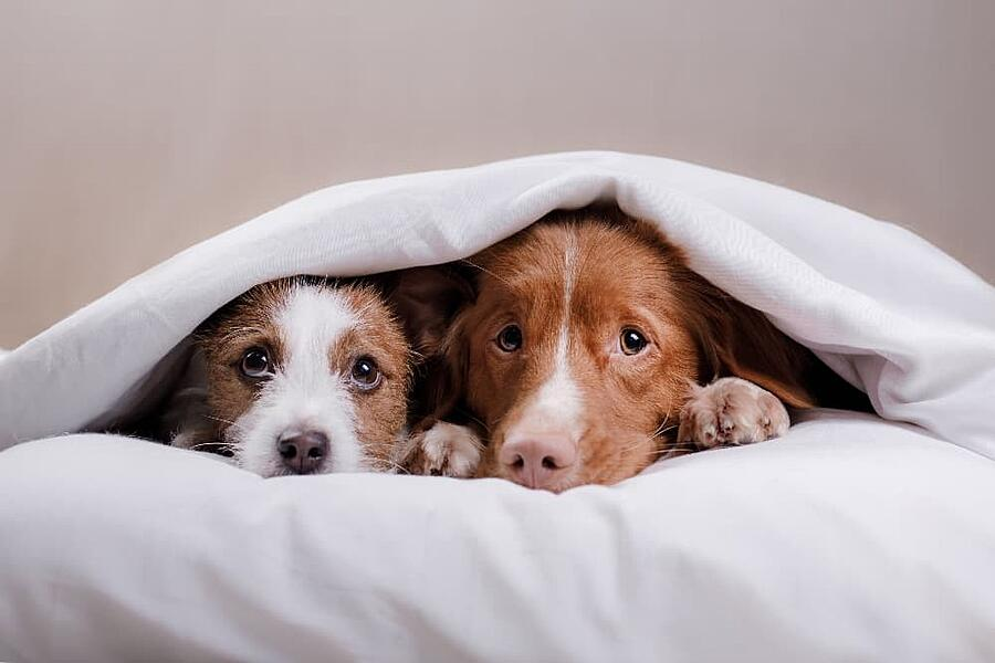 two-dogs-hiding-under-blanket (1)