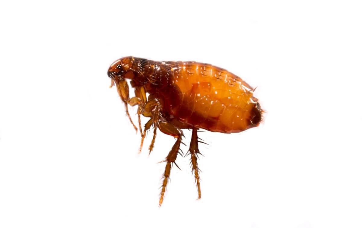 Adult-flea-closup