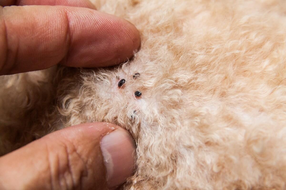 Dog-with-fleas