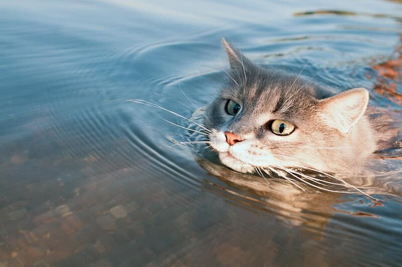Cat-swimming-in-lake (1)