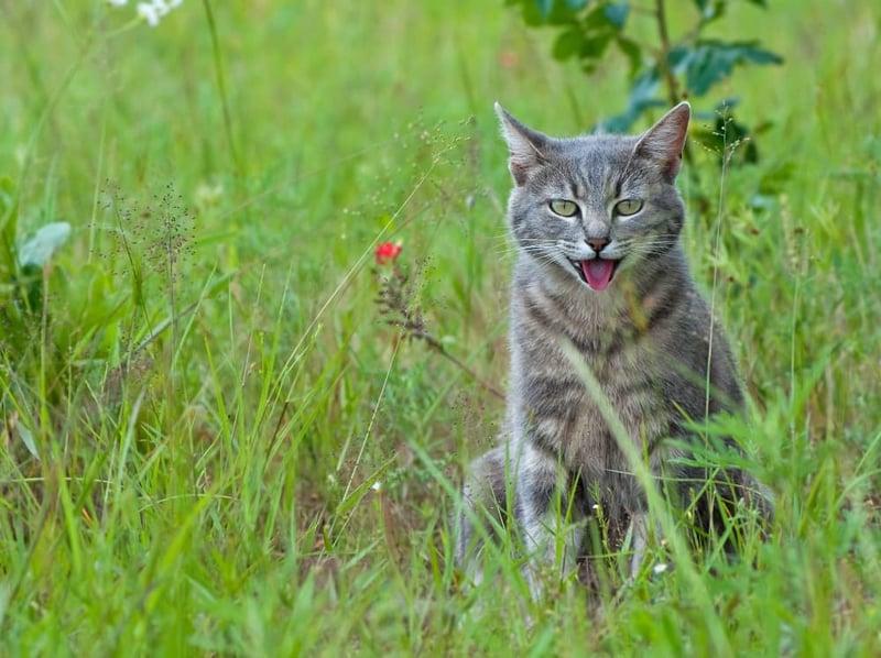 cat-panting-in-field (1)