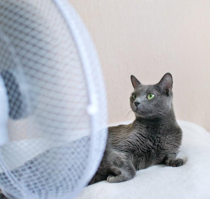 grey-cat-sitting-in-front-of-fan (1)