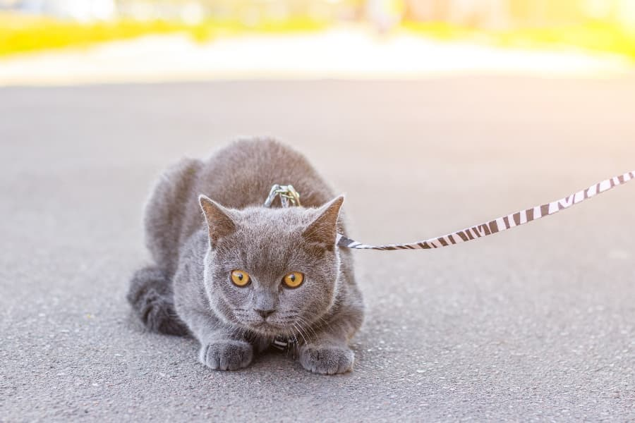 suspicious-cat-on-a-leash (1)
