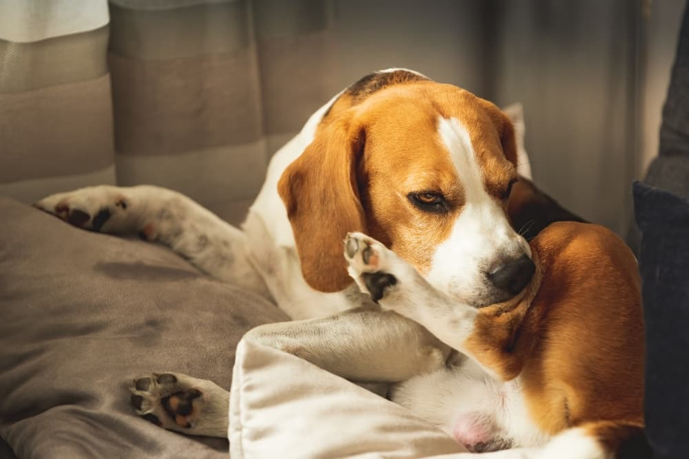 Beagle-chewing-on-itchy-leg (1)