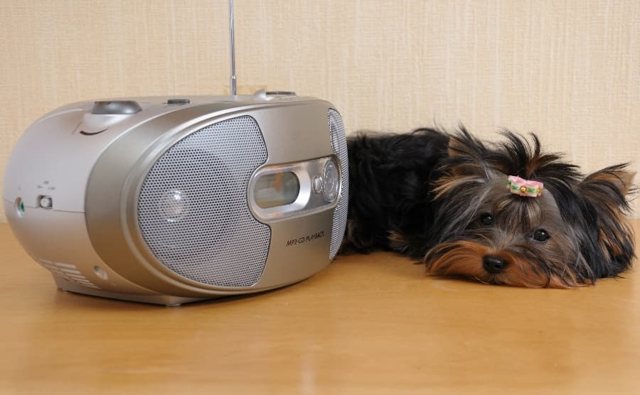 yorkie-puppy-listening-to-radio (1)