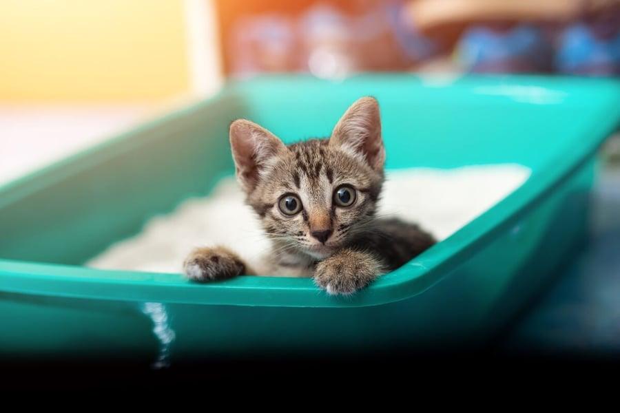 kitten-in-green-litter-box