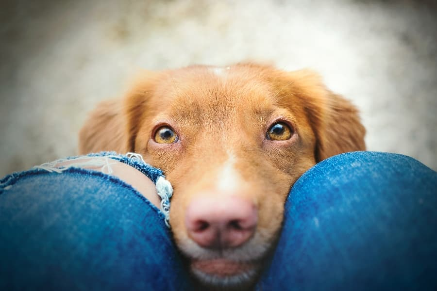 needy-dog-resting-nose-on-owners-legs (1)