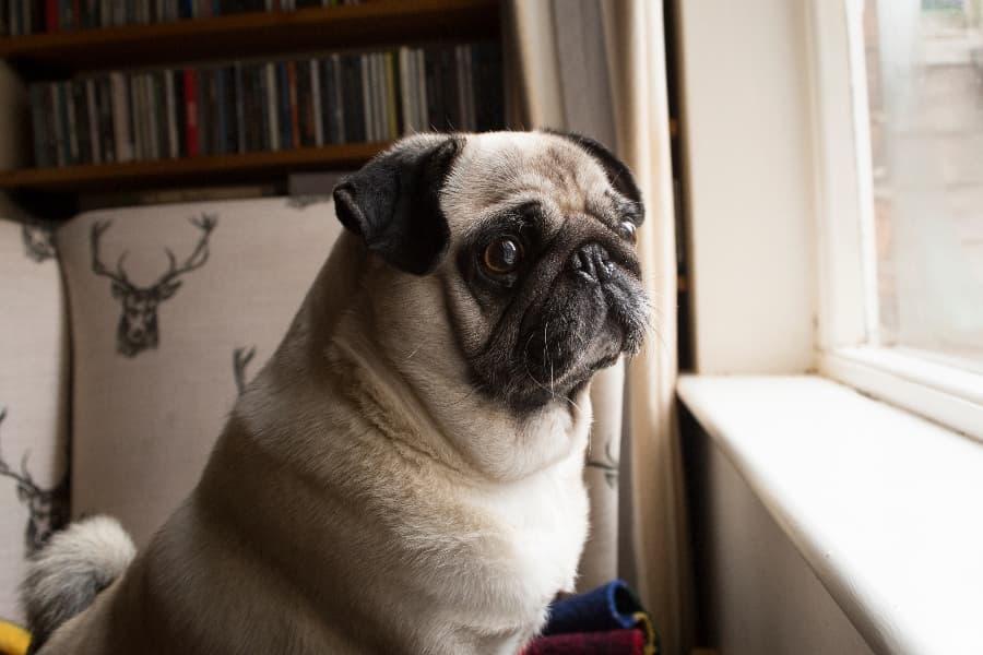 sad-pug-looking-out-window (1)