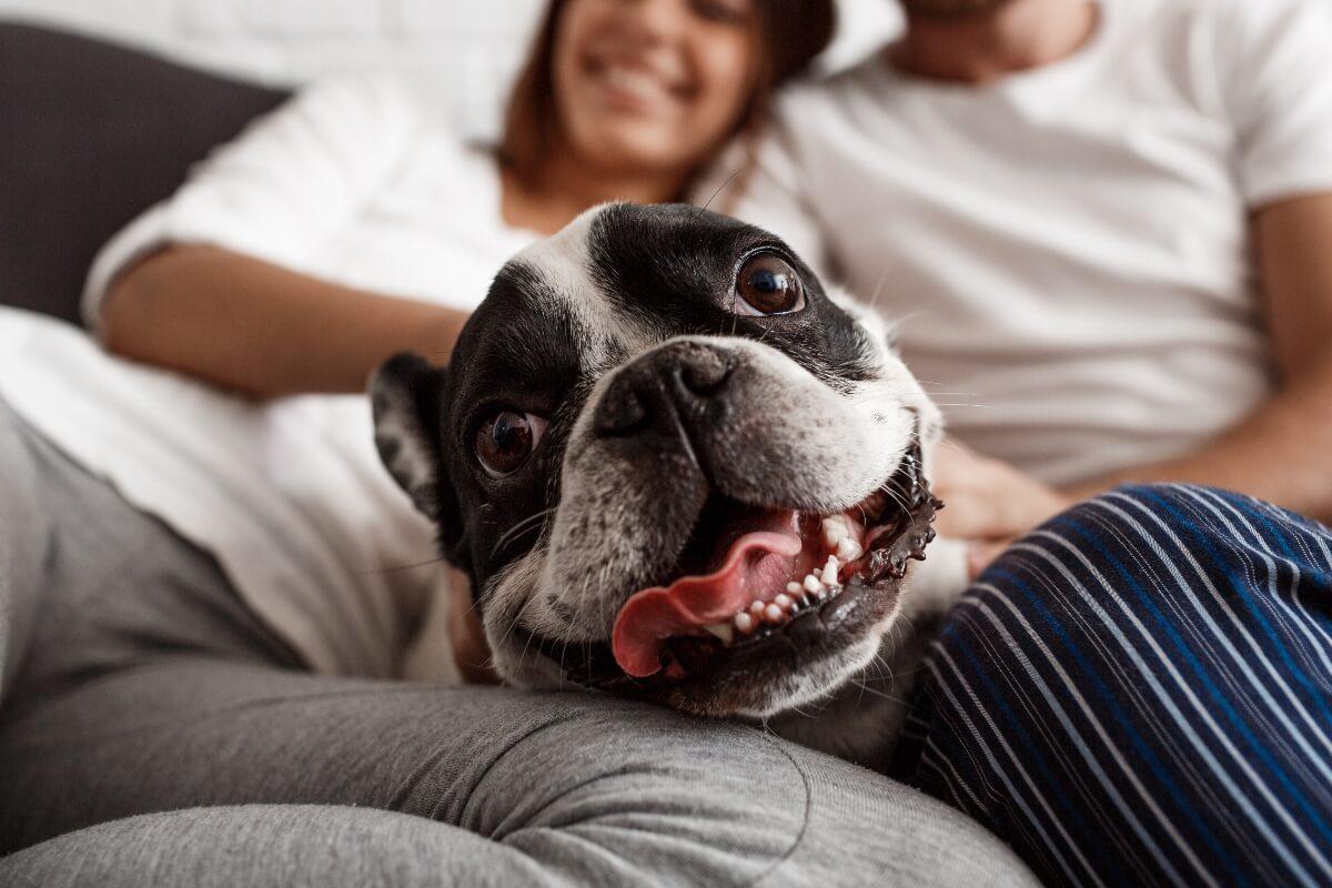Boston Terrier on sofa